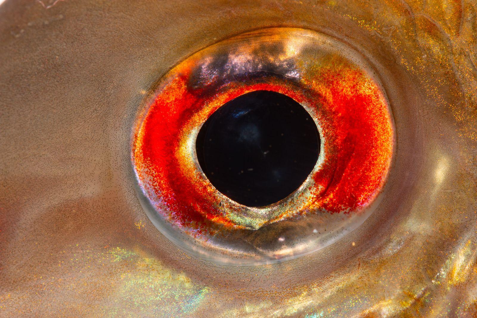 Imagen detalle del ojo de Geophagus surinamensis CavFish Unibagué