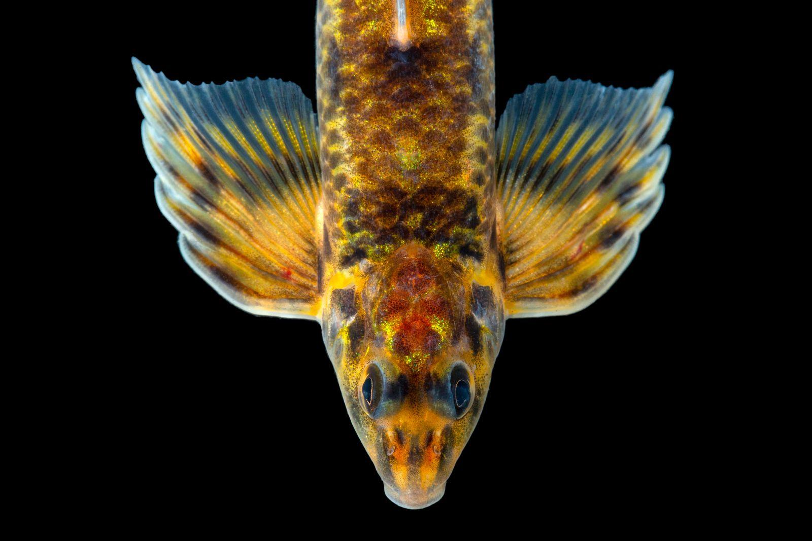 Imagen Characidium crandelli CavFish Unibagué