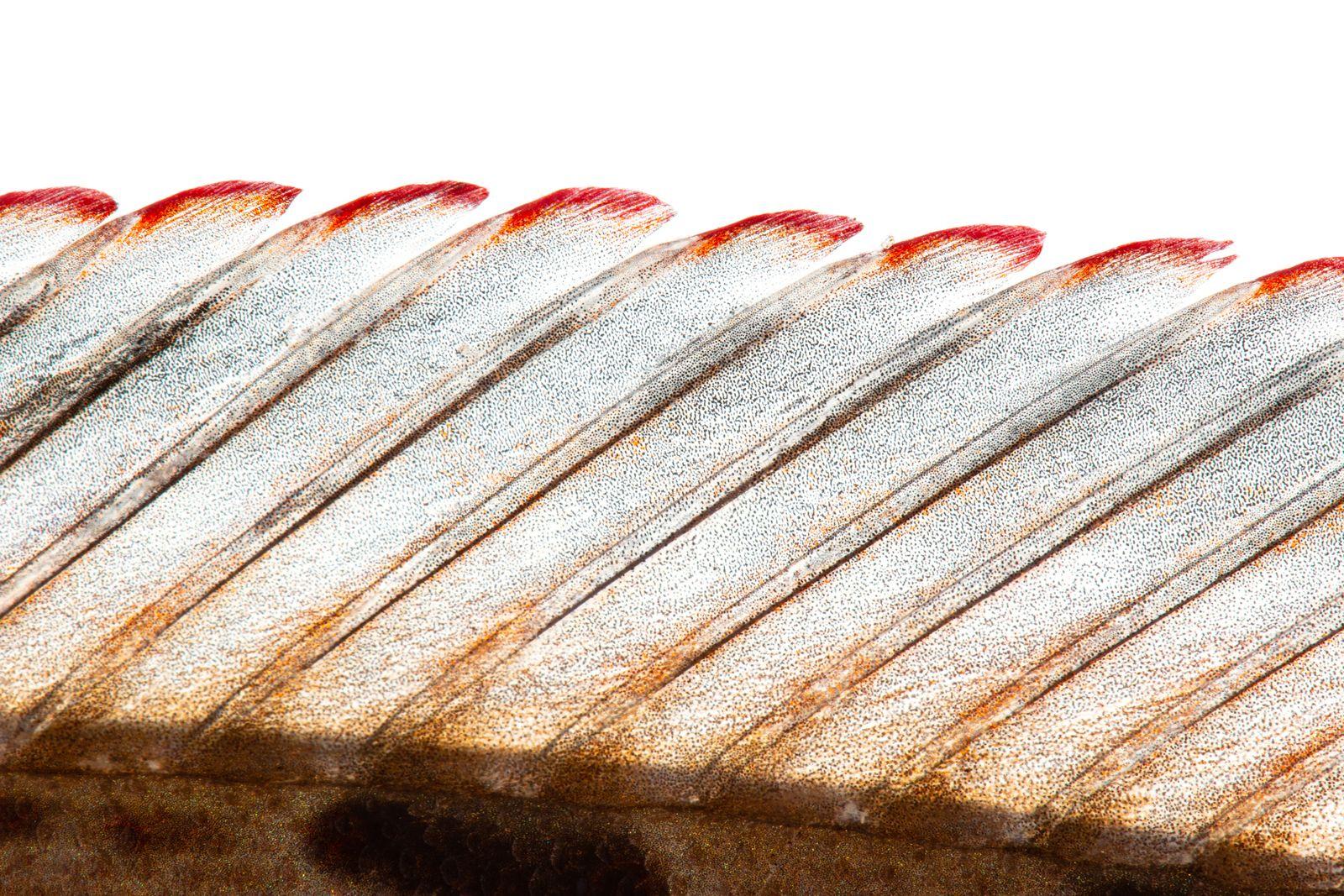 Imagen Detalle de aleta dorsal de Crecicichla lenticulata Cavfish