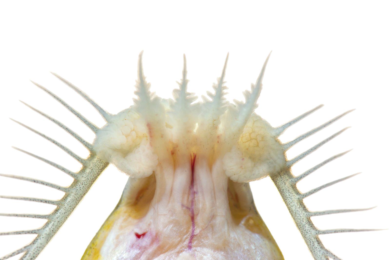 Imagen Detalle ventral de la boca de Doras sp CavFish Unibagué